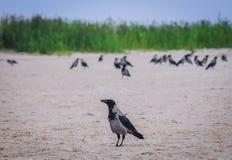 Wrony na plaży fotografia stock