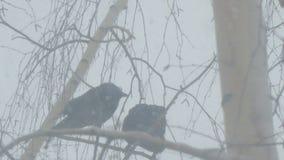 Wrony siedzą na gałąź brzoza zbiory wideo