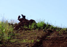 Wrony siedzą na ziemi Zdjęcie Stock
