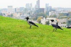 Wrony w mieście Fotografia Royalty Free