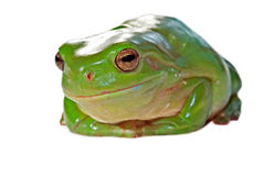 Wry frog Stock Image