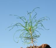 Wry needles of pine plantlet Royalty Free Stock Images