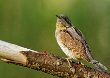 Wryneck on the branch. Poland in May.Male of Wryneck sitting on the branch and is expecting the rival on his territory Stock Images