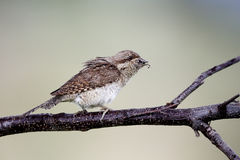 Wryneck, Jynx torquilla Royalty Free Stock Photo