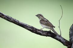 Wryneck, Jynx torquilla Stock Photos
