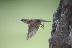 Wryneck, Jynx torquilla Royalty Free Stock Photography