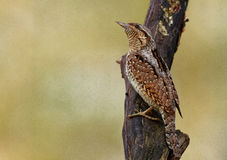 Wryneck male on the tree trunk Royalty Free Stock Photos