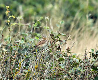 Wryneck Royalty Free Stock Photos