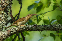 Wryneck tongue Stock Image