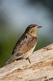 Wryneck (torquilla de Jynx) Photo stock