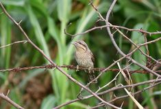 Wryneck royalty free stock photography