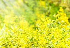 Wrzeciono - Euonymus fortunei jest gatunki kwiatonośna roślina Fotografia Stock
