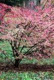 Wrzeciono krzak w jesieni Zdjęcie Royalty Free