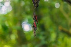 Wrzesień 03, 2014 - Czerwone Bawełniane pluskwy w Chitwan parku narodowym, Ne Zdjęcia Stock