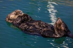 Wrzesień 2, 2016 - denna wydra jest spławowa na swój plecy, Seward alaska Obraz Stock