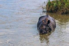 Wrzesień 03, 2014 - Indiańska nosorożec kąpać się w Chitwan obywatela Pa Fotografia Stock
