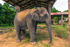 Wrzesień 09, 2014 - Wyszkolony słoń w Chitwan parku narodowym, Zdjęcie Royalty Free