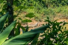 Wrzesień 09, 2014 - gawiala krokodyl w Chitwan parku narodowym, Obraz Stock