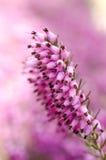 Wrzosów kwiaty Fotografia Royalty Free