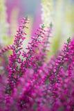 Wrzosów kwiaty fotografia stock
