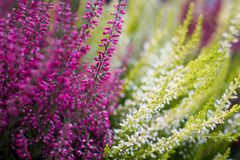 Wrzosów kwiaty zdjęcia stock