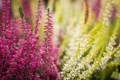 Wrzosów kwiaty obraz stock
