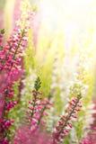 Wrzosów kwiaty obrazy royalty free