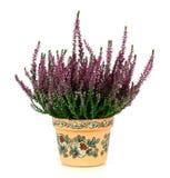 Wrzos, Calluna vulgaris Zdjęcia Stock