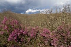 Wrzos Kwitnie w Lasowych dębach Zdjęcia Royalty Free