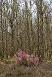 Wrzos Kwitnie w Lasowych dębach Fotografia Royalty Free