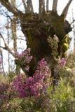 Wrzos Kwitnie w Lasowych dębach Zdjęcia Stock