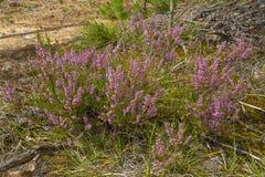 Wrzos purpur kwiaty zdjęcie stock