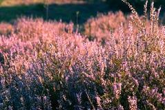 Wrzos w kwiacie Zdjęcia Royalty Free