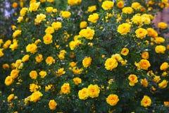 Wrzosa koloru żółtego róży krzak kwitnie natury tapetę obrazy stock