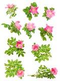 wrzosiec odizolowywający różowy set Zdjęcia Royalty Free