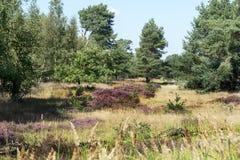 Wrzosowisko i las w Holandia Obrazy Royalty Free