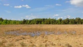 Wrzosowisko krajobraz z suchą trawą z fen i świerczyny lasem, Kalmthout, Flanders, Belgia fotografia stock