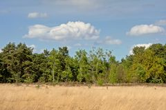 Wrzosowisko krajobraz z suchej trawy i świerczyny lasem, Kalmthout, Flanders, Belgia obrazy stock