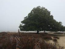 Wrzosowiskowy i dębowy drzewo w mgle Zdjęcie Royalty Free