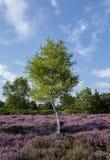 Wrzosu drzewo Obrazy Royalty Free