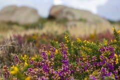 Wrzosu krajobraz Cote De Granit Wzrastający w Bretagne, Francja obraz royalty free