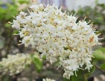 Wrzosu kwiat obraz stock