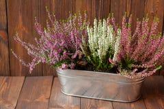 Wrzosy w metalu flowerpot Obrazy Royalty Free