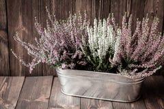 Wrzosy w metalu flowerpot na drewnianych deskach Zdjęcie Royalty Free
