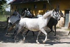 Wsad konie jest wpólnie w zakurzonym corral fotografia royalty free