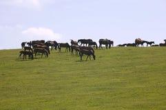 Wsad konie przy latem Obraz Stock