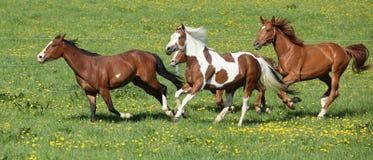 Wsad piękni konie biega na wypasie zdjęcia royalty free