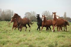 Wsad Welsh ponnies biegać Obrazy Stock