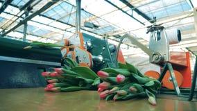 Wsady tulipany dostają odcinającymi mechanically zbiory