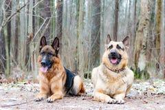 Wschód - europejska baca Młody energiczny pies chodzi w lesie obrazy royalty free